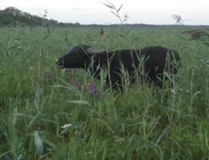 liten buffel